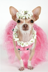 Diva Dog in Party Outfit