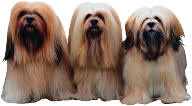 long haired small dogs